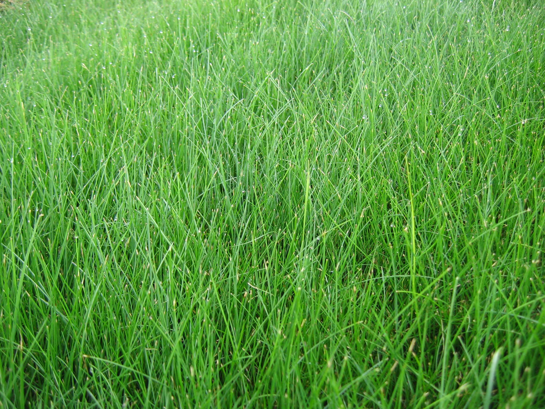 Fescue S And Fes Don Ts Some Helpful Tips Hedgerow